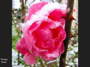 fleur de gel